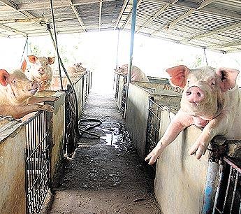 Sabrosos y sin estrés * Cerdos sin castrar.